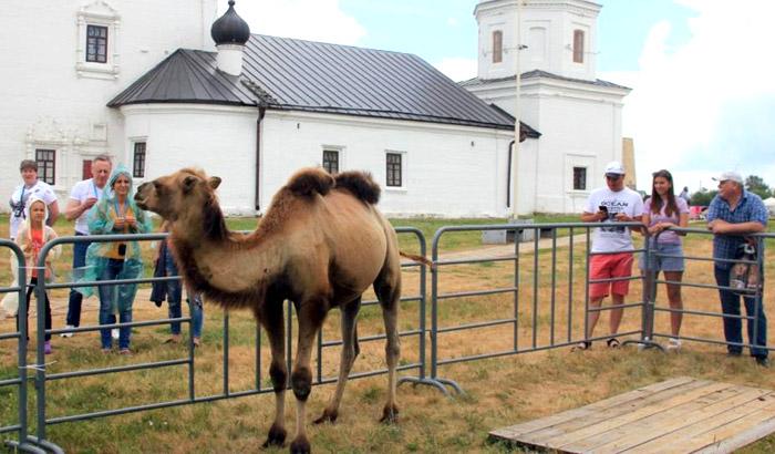 Верблюд с фермы в Болгаре